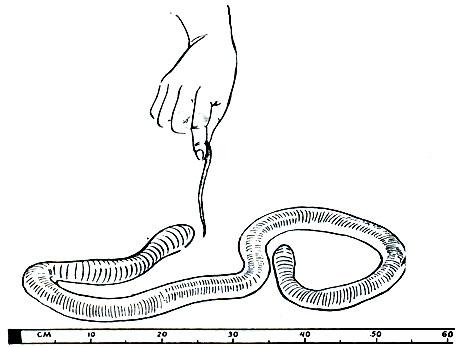 Гигантские дождевые черви