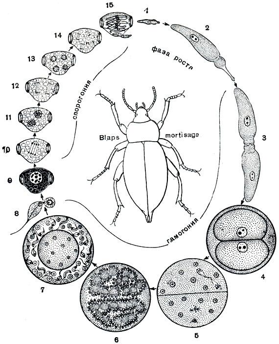 Грегарины жизненный цикл схема