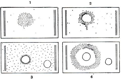 Хемотаксис инфузорий туфелек: 1 - положительный хемотаксис, инфузории концентрируются в области введенного...